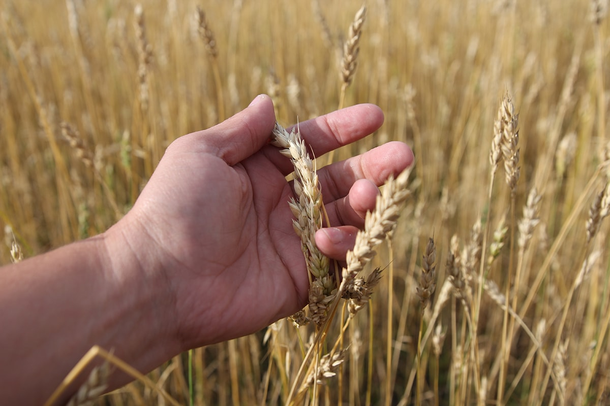 This wheat contains gluten which can cause skin problems
