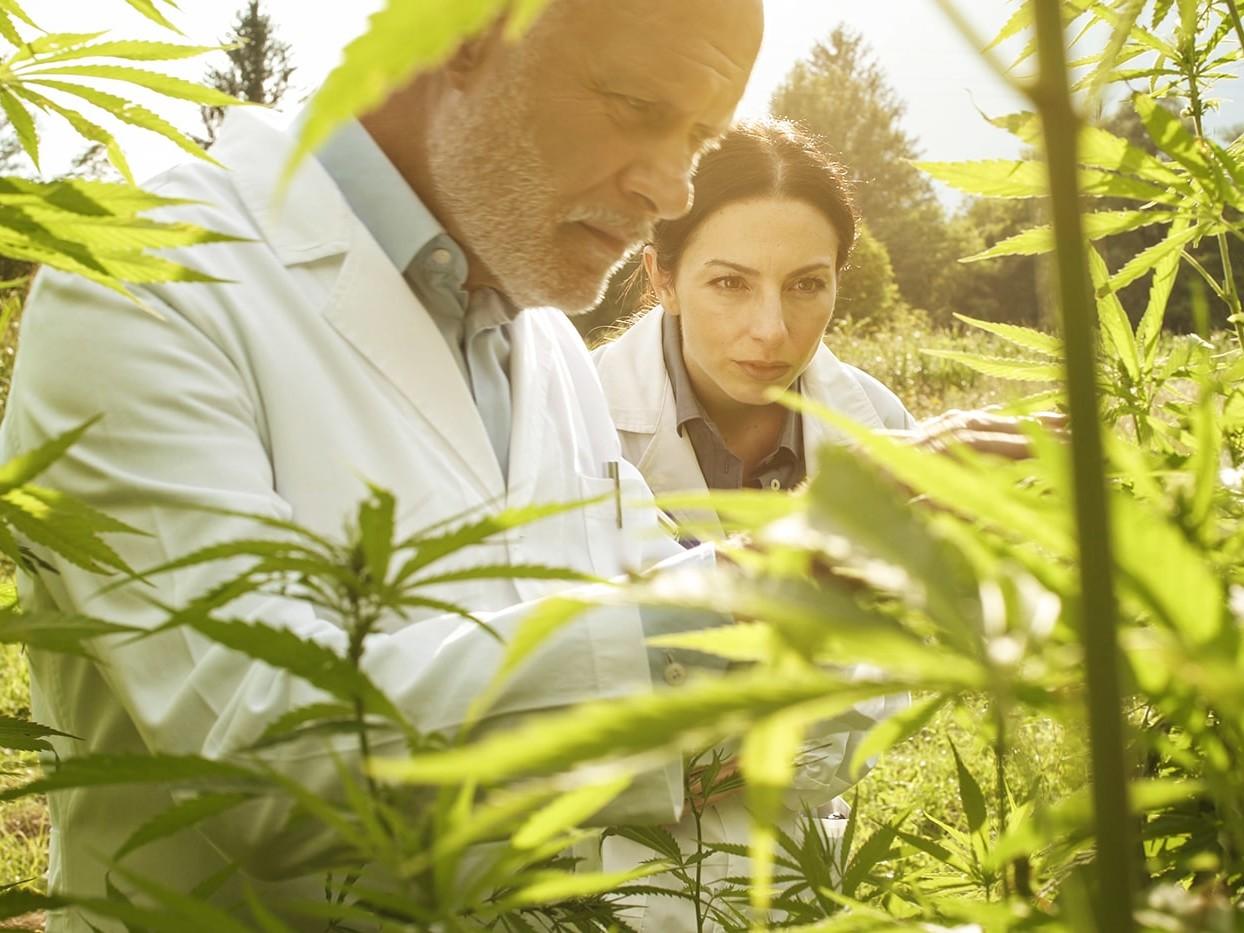 Researchers checking CBD plants